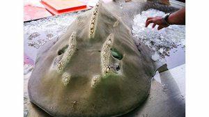 เศร้าใจ!! ปลาโรนิน สัตว์ทะเลหายาก ถูกวางขายในตลาดราคาแค่ 8,000