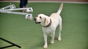 ครั้งแรกในไทย! จุฬาฯ ฝึกสุนัขดมกลิ่นหาผู้ติดเชื้อโควิด สำเร็จ