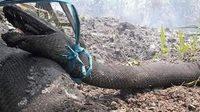 สะเทือนใจ! ภาพงูยักษ์ไหม้เกรี้ยม หลังหนีไม่รอดจากไฟป่าอินโดฯ