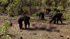 สื่อนอกตีภาพหายาก!! ฝูงชิมแปนซีรุมฆ่า – กินกันเอง