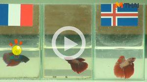 ซี้ซั้วฟันธง! ปลากัดทายผล ยูโร 2016 ฝรั่งเศส ปะทะ ไอซ์แลนด์ (3 ก.ค.)