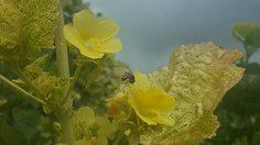 ปักหมุดจุดถ่ายรูปใหม่ ทุ่งดอกกระเจี๊ยบผี จ.อุตรดิตถ์ เหลืองอร่ามริมทาง