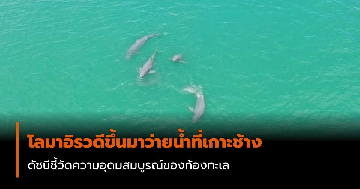 โลมาอิรวดี ขึ้นมาว่ายน้ำที่เกาะช้าง บ่งบอกถึงความอุดมสมบูรณ์ของท้องทะเล