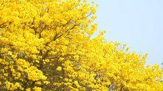 ดอกเหลืองอินเดีย บานสะพรั่งรับลมร้อน สวยงามราวภาพวาด