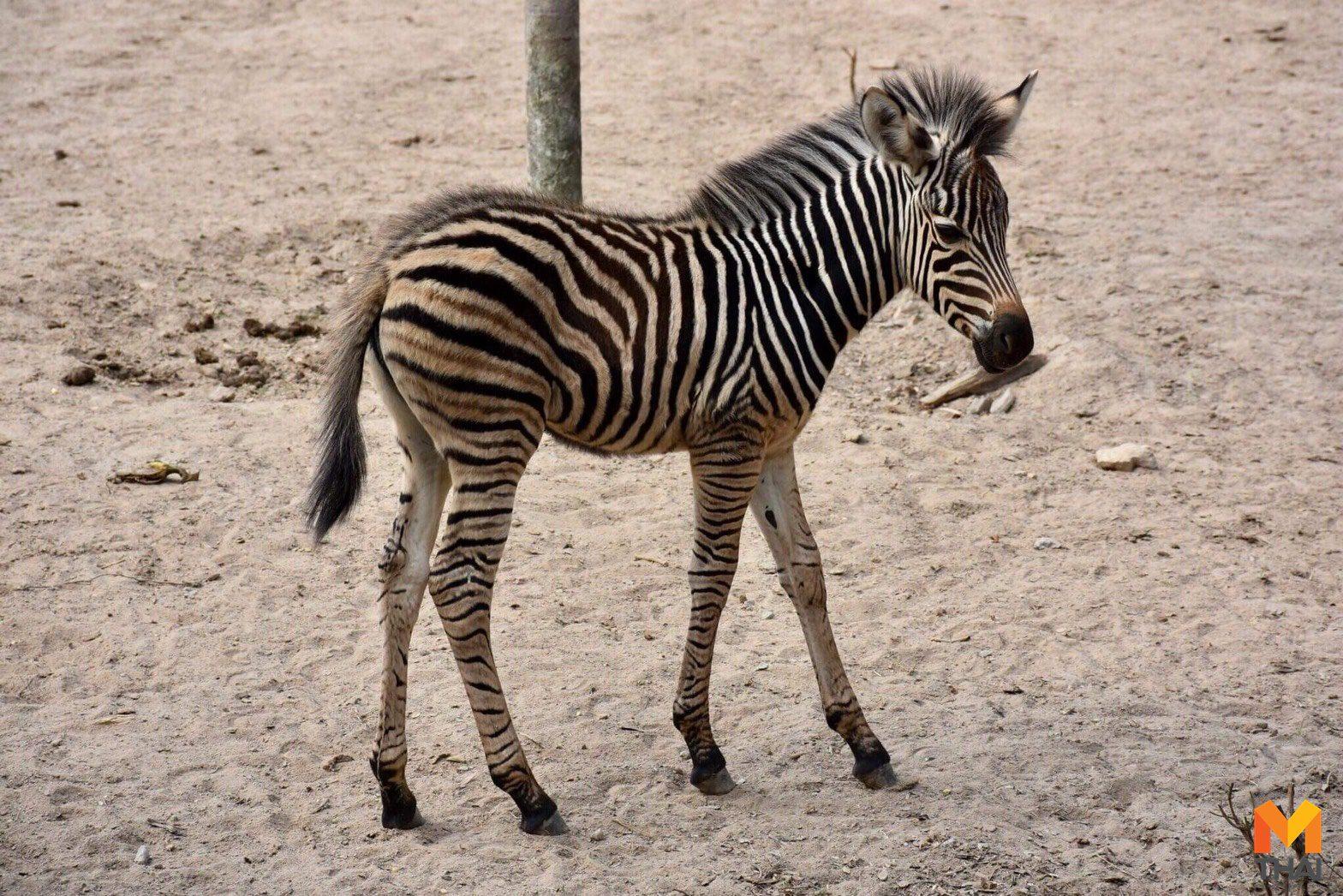 สุดปลื้ม!! ม้าลายลูกติดจากเขาดิน มาเกิดที่เขาเขียวฉลองตรุษจีน