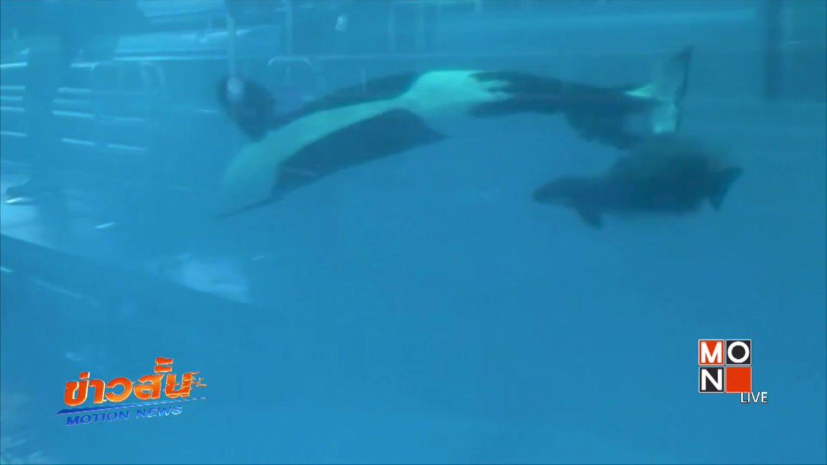 วาฬเพชฌฆาตที่สวนน้ำซีเวิลด์ตกลูกตัวสุดท้าย