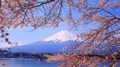 รู้ไว้ไม่มีพลาด! คาดการณ์ช่วงเวลาดอกซากุระผลิบานในญี่ปุ่น 2016
