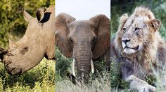 กลุ่ม ลักลอบล่าสัตว์ โดนช้างเหยียบ แล้วถูกสิงโตเอาศพไปกินกลางอุทยานแห่งชาติ