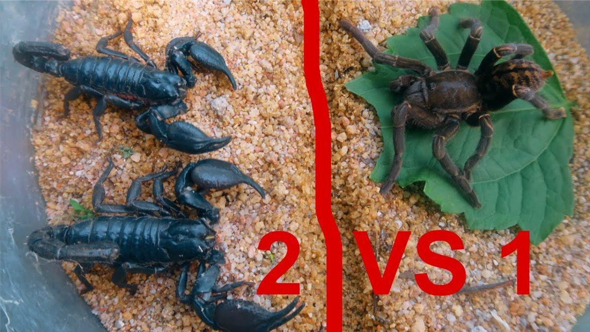 ราชาแห่งพิษสายแข็ง! เมื่อ แมงมุมทารันทูร่า Vs 2 แมงป่อง อยู่ในกล่องเดียวกัน 3 วัน เปิดมาใครจะรอด?