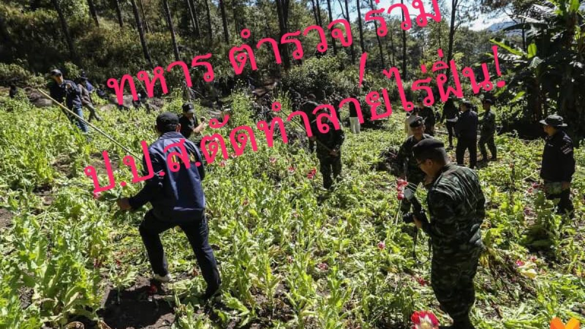 ทหาร ตำรวจ ร่วม ป.ป.ส.ตัดทำลายไร่ฝิ่น!  อ.ปาย ลอบปลูกรวมผักกาดเขียวกว่า 1 ไร่