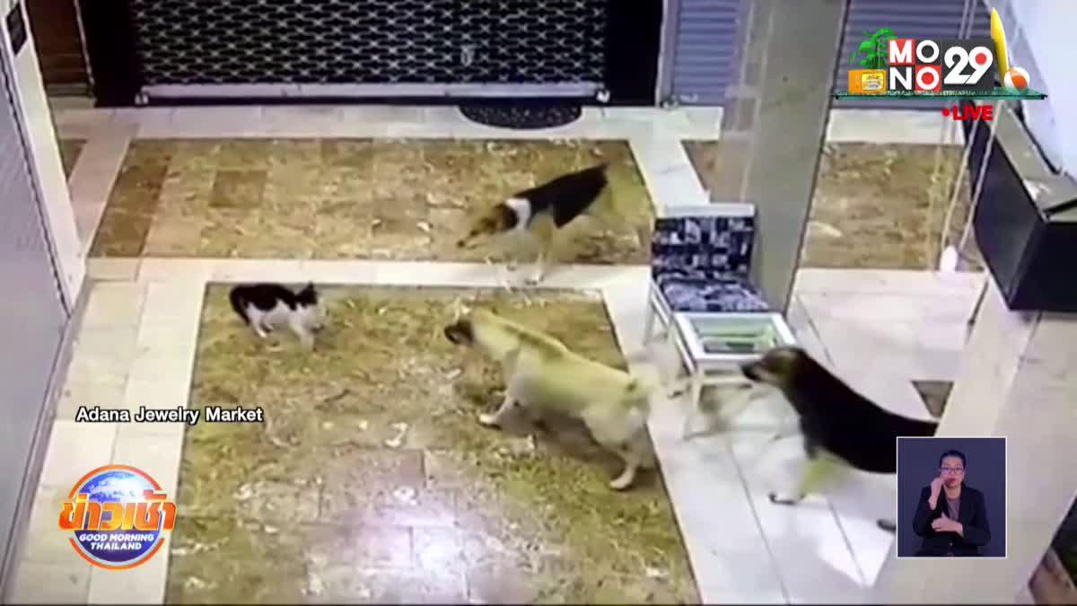 แม่แมว กระโดดปกป้องลูกที่ถูกหมาจร 3 ตัว รุมเห่าไล่