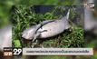 เฉลยภาพปลาประหลาดอาจเป็นซาลามานเดอร์เสือ