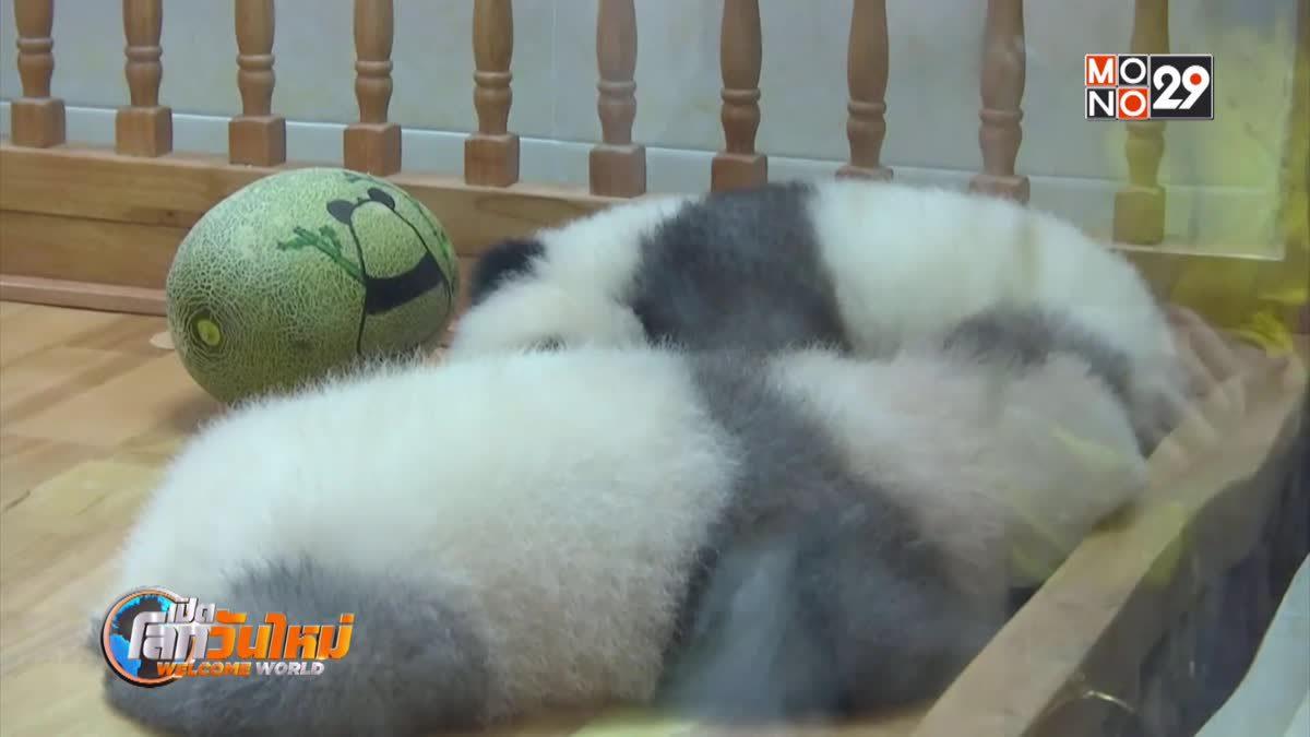 จีนเผยโฉมแพนด้าขนเทาครั้งแรก