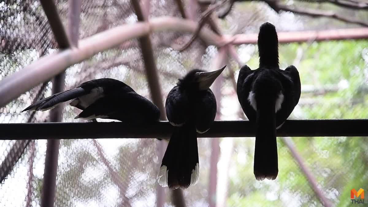 สวนสัตว์ดุสิตเชิญชม 'นกแก๊ก' นกเงือกเล็กที่สุดในประเทศไทย