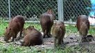"""สวนสัตว์สงขลา เปิดตัว """"คาปิบาร่า"""" หนูยักษ์ที่ใหญ่ที่สุดในโลก 5 ตัว"""