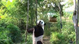 สวนสัตว์เชียงใหม่ จัดกิจกรรม 'แพนด้ากลางแจ้ง' รับนักท่องเที่ยว