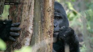 ยูกันดาอนุรักษ์เข้ม ตัดสินจำคุกพรานป่าฆ่า 'กอริลลาภูเขา' 11 ปี