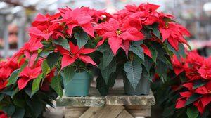 วิธีปลูกต้นคริสต์มาส ไม้ประดับดูดสารพิษตั้งในห้องหรือกลางแจ้งก็รอด