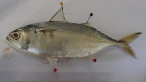 จนท.พบไมโครพลาสติกในปลาทู จากการเก็บตัวอย่างที่หาดเจ้าไหม