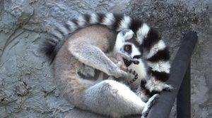 สวนสัตว์สงขลา เฮ! ได้สมาชิกใหม่ 1 ตัว เป็น 'ลูกลีเมอร์หางแหวน'