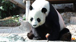 ได้ข้อสรุป ช่วง ช่วง หมีแพนด้ายักษ์ตาย ไทยต้องจ่ายชดเชย  15 ล้านให้จีน