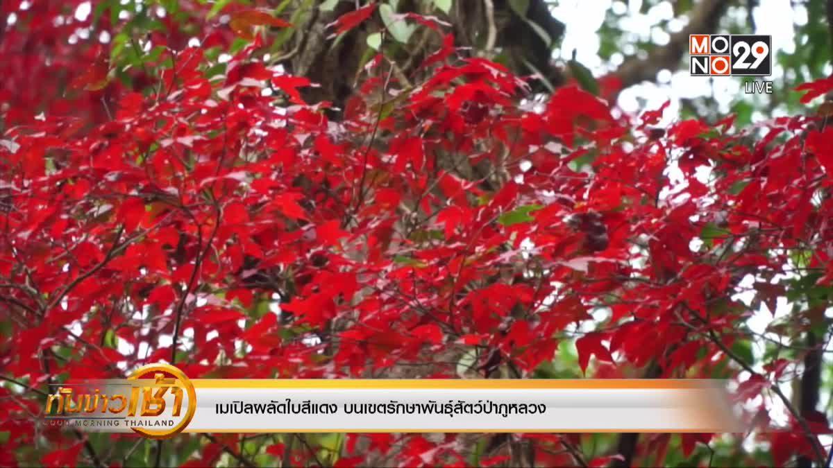 เมเปิลผลัดใบสีแดง บนเขตรักษาพันธุ์สัตว์ป่าภูหลวง