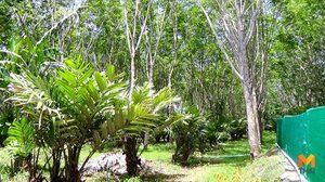 ชาวสวนยางพลิกวิกฤติ ปลูกสละอินโดฯ ร่วมกับต้นยางพารา ทำเงินปีละกว่า 4 แสน