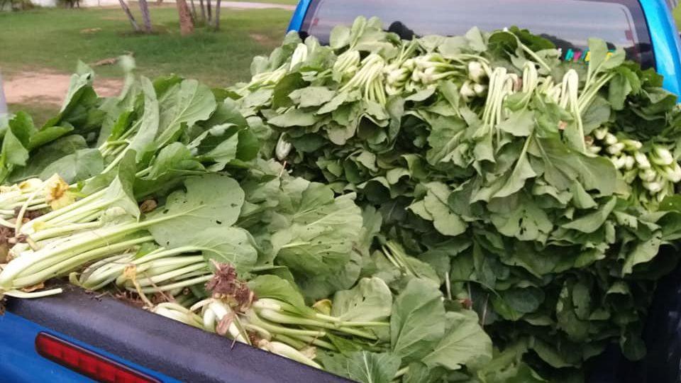 เจ้าของสวนทนไม่ไหว ประกาศแจกผักกวางตุ้งฟรี หลังราคาตกเหลือถุงละ 20 บาท