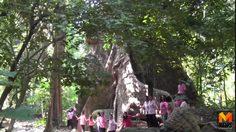 ฮือฮา! ต้นไม้ยักษ์ อายุกว่า 120 ปี ขนาดใหญ่เท่า 30 คนโอบ