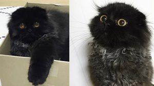 กีโม น้องแมวตัวดำ ตาโต น่ารัก เหมือนตุ๊กตามาก