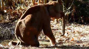 นาทีชีวิตลูกช้างป่า ค่อยๆ ล้มตัวนอนตาย หลังได้รับบาดเจ็บจากการถูกคนทำร้าย
