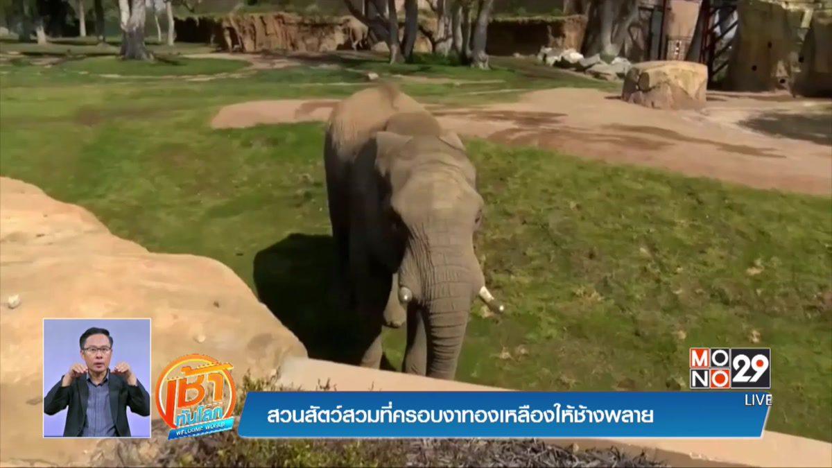 สวนสัตว์สวมที่ครอบงาทองเหลืองให้ช้างพลาย