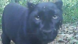 พบ 'เสือดำ' โผล่เล่นกล้องในป่าอุ้มผาง จ.ตาก แสดงถึงความสมบูรณ์