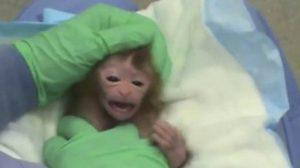 ชาวเน็ตร้อง ม.ดัง เลิกทรมานสัตว์ ตัดอวัยวะลูกลิงไปทดลองทีละชิ้น
