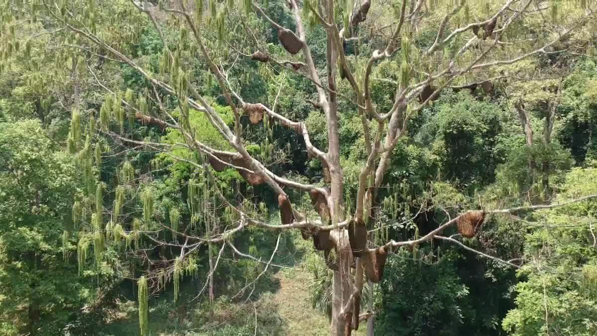 แห่ชม!! ผึ้งหลวงทำรังบนต้นไม้ในเขต อช.ดอยหลวง กว่า 30 รัง