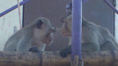 ชาวบ้านคัดค้าน ย้ายลิงลพบุรีไปนิคมลิง มองเป็นสัญลักษณ์ของจังหวัด