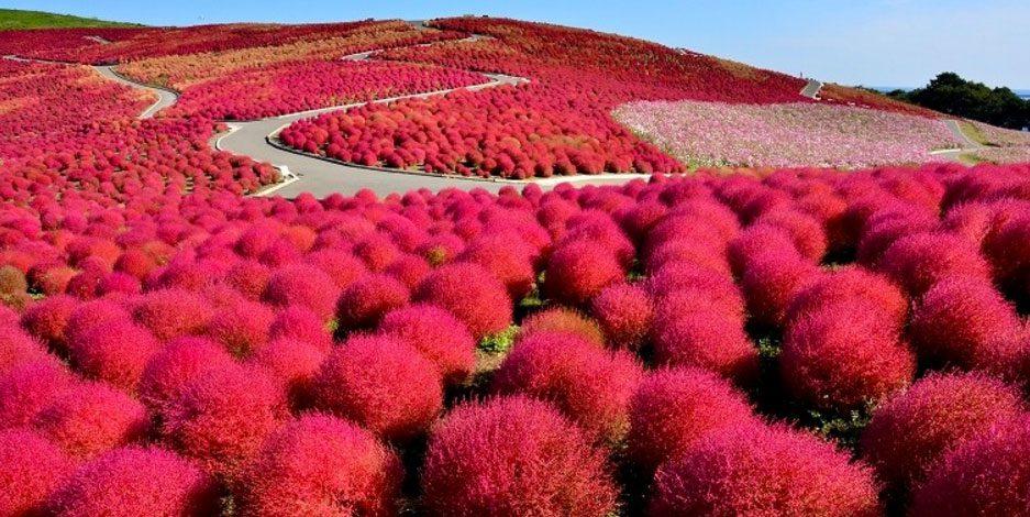 สถานที่ ชมใบไม้เปลี่ยนสีที่ญี่ปุ่น สวนฮิตาชิ Hitachi