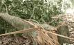 ช้างป่าทำลายพืชผลการเกษตร จ.สุราษฎร์ธานี