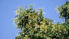 วิธีปลูกต้นปีบ หรือกาสะลองต้นไม้มงคลประจำจังหวัดพิษณุโลก