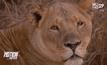 สิงโตขย้ำสาวอเมริกันตายที่แอฟริกาใต้
