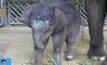ลูกช้างไทยในไนท์ซาฟารี สิงคโปร์