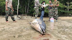 เศร้าใจ โลมาลายแถบ สัตว์หายาก เกยตื้นตายในทะเลกระบี่