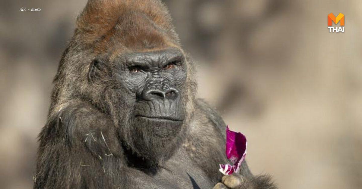 '9 ลิงใหญ่' ในสวนสัตว์สหรัฐฯ ได้รับ 'วัคซีนโควิด-19' แล้ว