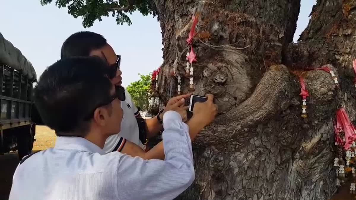 ส่องเลขเด็ด!! ต้นก้ามปูยักษ์โบราณ อายุกว่า 100 ปี ริมกว๊านพะเยา