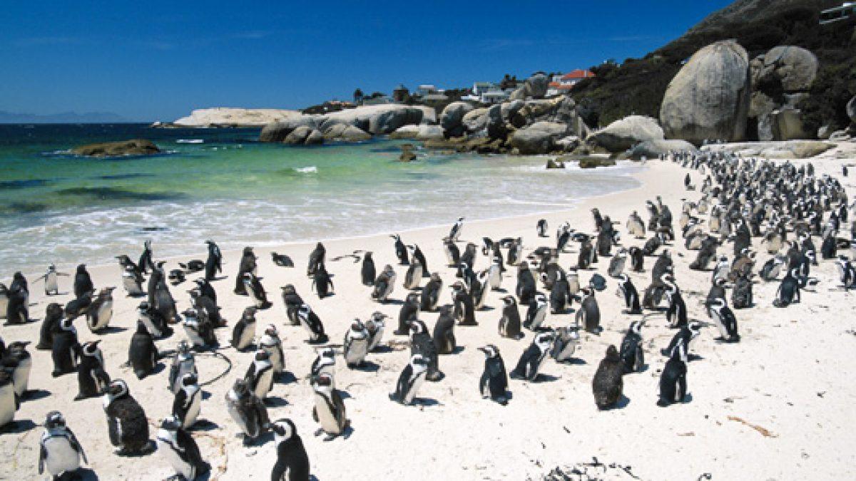 ชายหาดแพนกวินว่ายน้ำ Boulders beach – South Africa