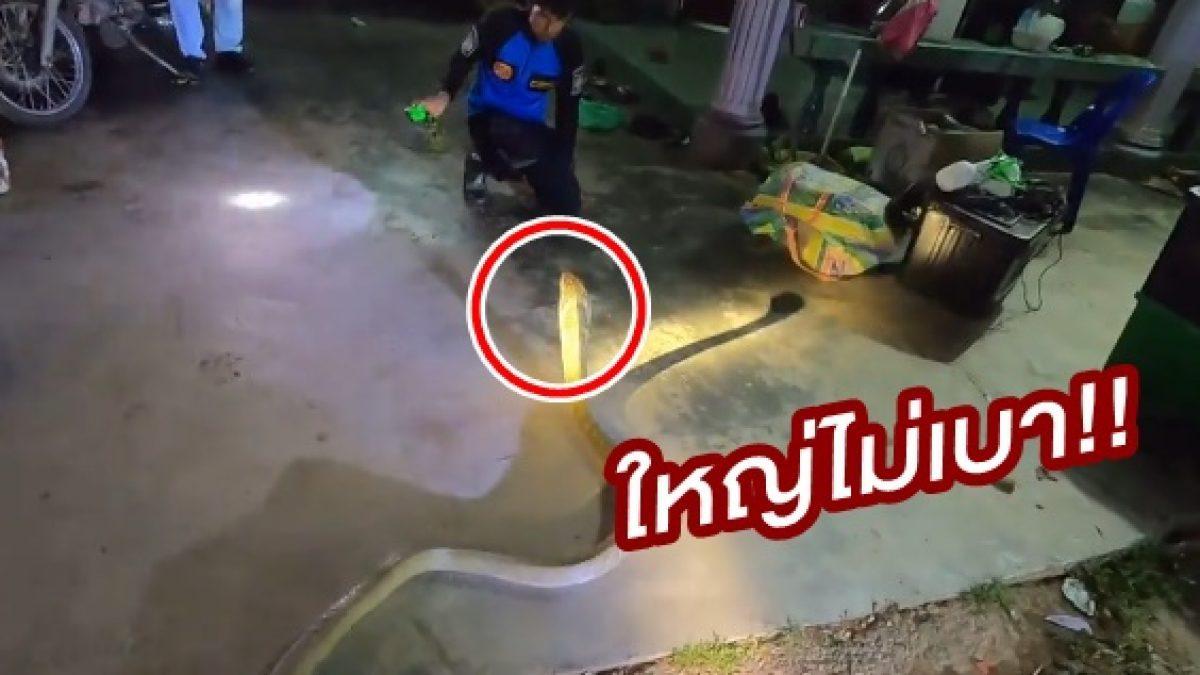 นาทีระทึก! 2 กู้ภัย โชว์สกิลสับขาหลอกล่อจับ งูจงอางตัวเบ้งยาว 12 ฟุต