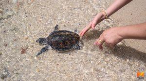 ปล่อยเต่าทะเล  330 ตัว ในกิจกรรมรักษ์ปะการังและสิ่งมีชีวิตใต้ทะเล