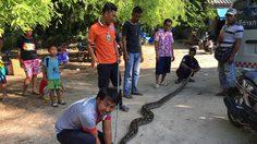 จับระทึก! งูเหลือมยักษ์หวังเขมือบไก่ ก่อนเลื้อยหนีขึ้นต้นไม้