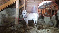 ม้า ผู้หิวโหยแอบขึ้นไปกินหญ้าบนห้องใต้หลังคา แต่ขากลับดันลงมาเองไม่ได้ จนติดอยู่บนนั้นทั้งคืน