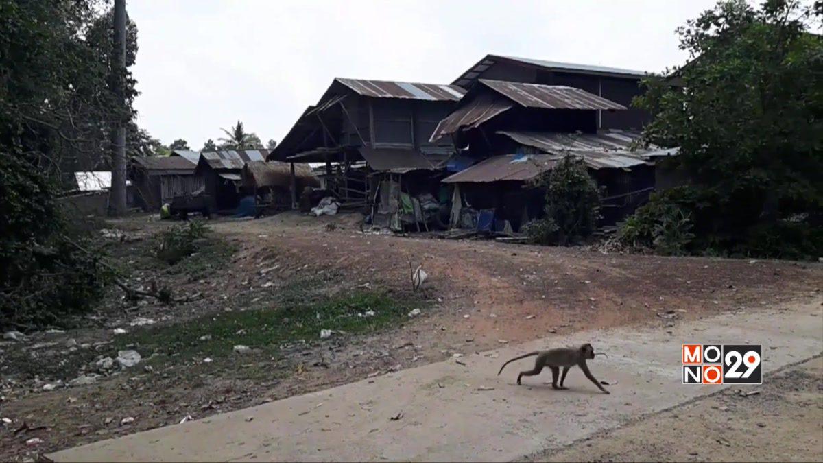ลิงนับพันตัวขาดแคลนอาหารบุกบ้านเรือน ปชช.